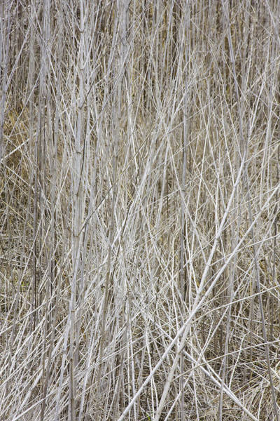 Photograph - Giant Ragweed Stalks Dried Out by Steven Schwartzman