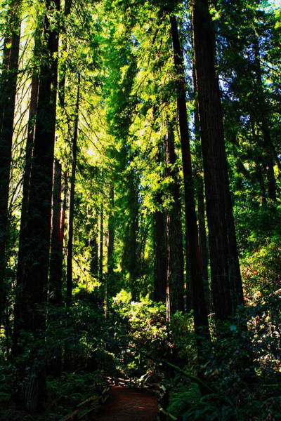 Photograph - Giant Redwood Forest by Aidan Moran