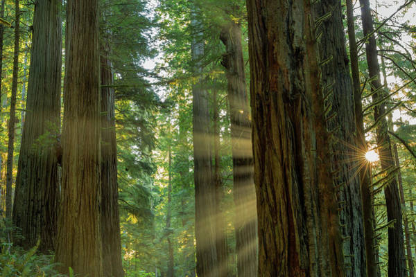 Redwood City Wall Art - Photograph - Giant Redwood Forest In Jedediah Smith by Chuck Haney