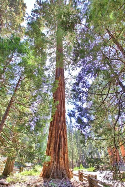 Photograph - Giant Redwood by Gordon Elwell