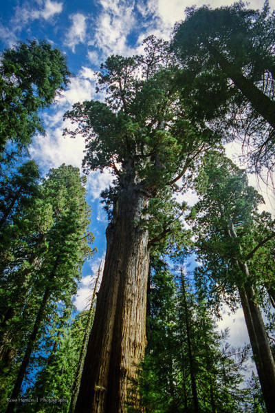 Photograph - Giant Redwoods by Ross Henton