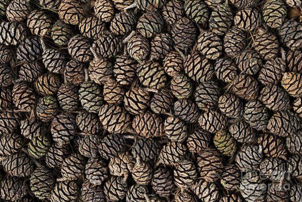 Casing Wall Art - Photograph - Giant Rewood Cones by Tim Gainey