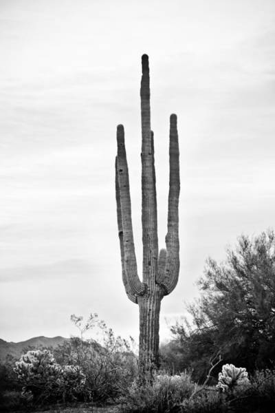 Photograph - Giant Saguaro Sonoran Desert Portrait Bw by James BO Insogna