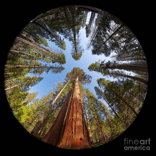 Redwoods Photograph - Giant Sequoia Fisheye by Jane Rix