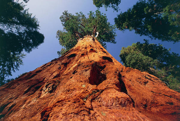 Sherman Photograph - Giant Sequoia 'general Sherman' by David Nunuk/science Photo Library