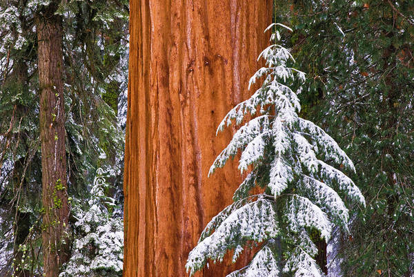 Bishop Photograph - Giant Sequoia In Winter, Giant Forest by Russ Bishop