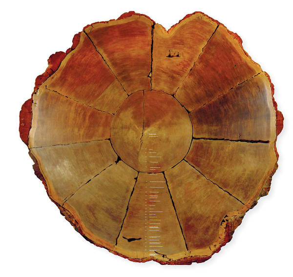 Wall Art - Photograph - Giant Sequoia Section by Natural History Museum, London/science Photo Library