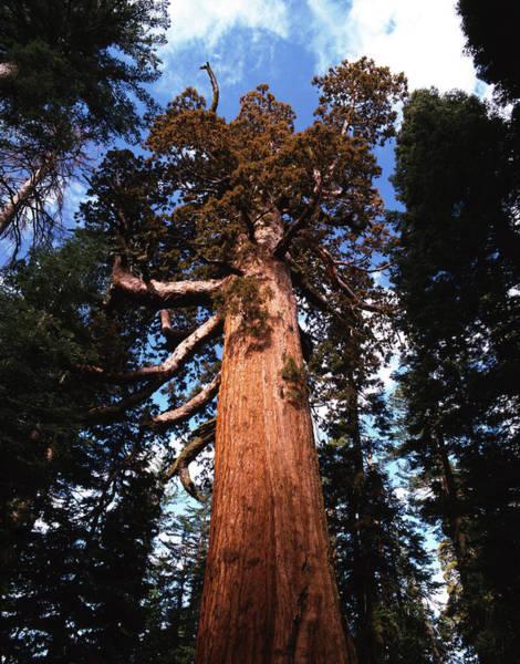 Sequoia Grove Photograph - Giant Sequoia Sequoiadendron Giganteum by Danita Delimont