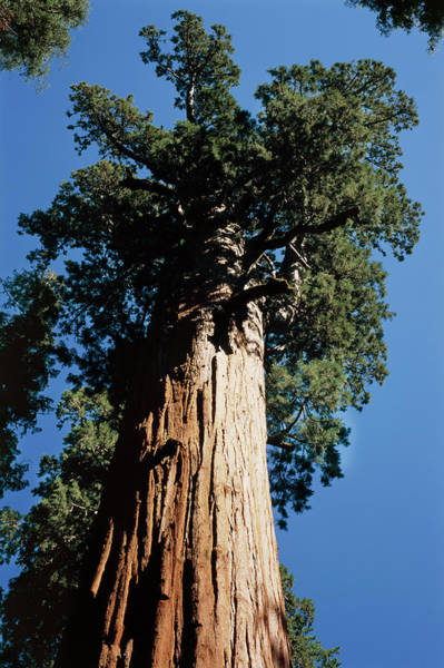 Sherman Photograph - Giant Sequoia Tree by Alex Bartel/science Photo Library