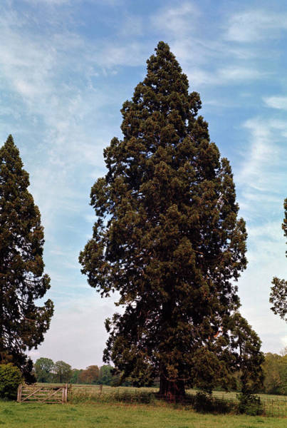 Coniferous Tree Photograph - Giant Sequoia Tree by Maurice Nimmo/science Photo Library