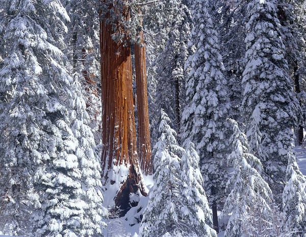 Kings Canyon Photograph - Giant Sequoia Trees Sequoiadendron by Panoramic Images