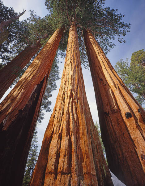 Photograph - 2m6833-giant Sequoias by Ed  Cooper Photography
