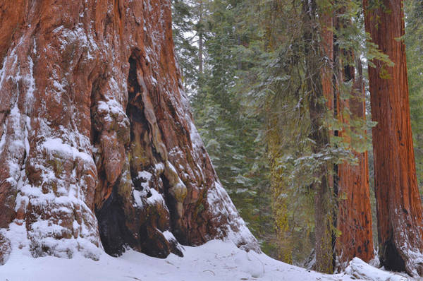Sequoia Grove Photograph - Giant Sequoia's - Grant Grove by Stephen  Vecchiotti