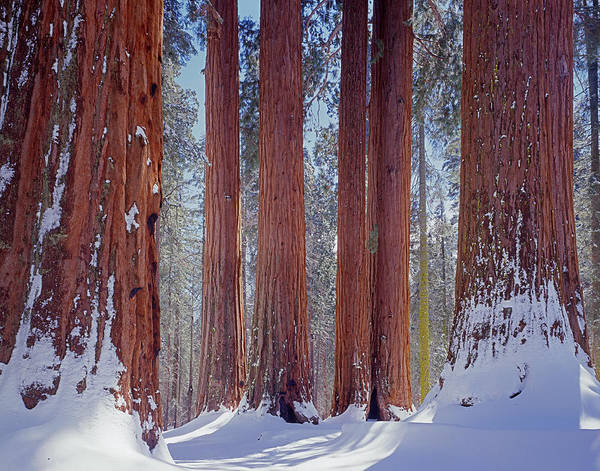 Photograph - 2m6839-giant Sequoias In Winter by Ed  Cooper Photography