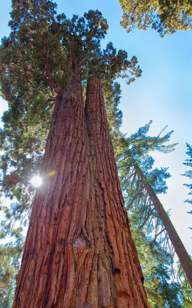 Photograph - Giant Sequoias by John M Bailey
