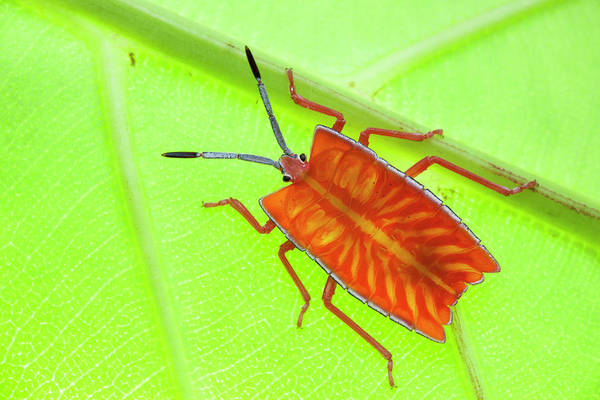 Shield Photograph - Giant Shield Bug by Melvyn Yeo
