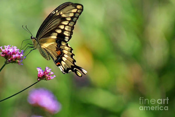 Photograph - Giant Swallowtail Butterfly by Karen Adams