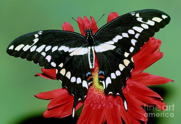Pterygota Wall Art - Photograph - Giant Swallowtail Butterfly by Millard Sharp