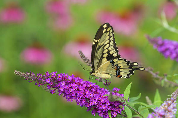 Butterfly Bush Wall Art - Photograph - Giant Swallowtail Butterfly (papilio by Richard and Susan Day