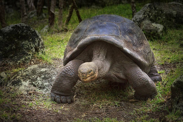 Photograph - Giant Tortoise by Kim Andelkovic
