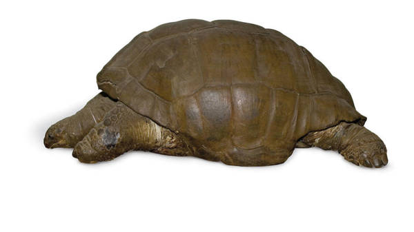 Tortoise Shell Photograph - Giant Tortoise by Natural History Museum, London/science Photo Library