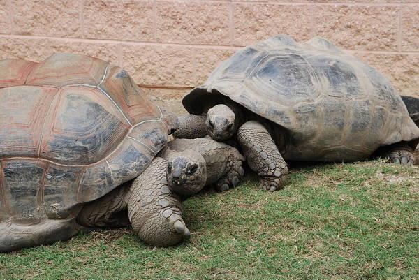Photograph - Giant Tortoises by Jennifer Ancker