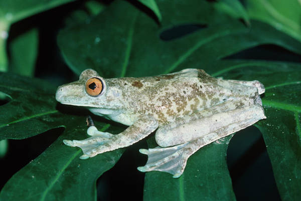 Hyla Wall Art - Photograph - Giant Tree Frog by Dr Morley Read/science Photo Library