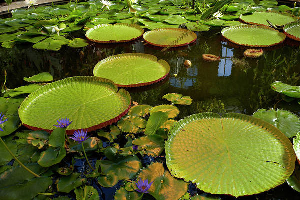 Auckland Photograph - Giant Water Lilies, Wintergardens by David Wall