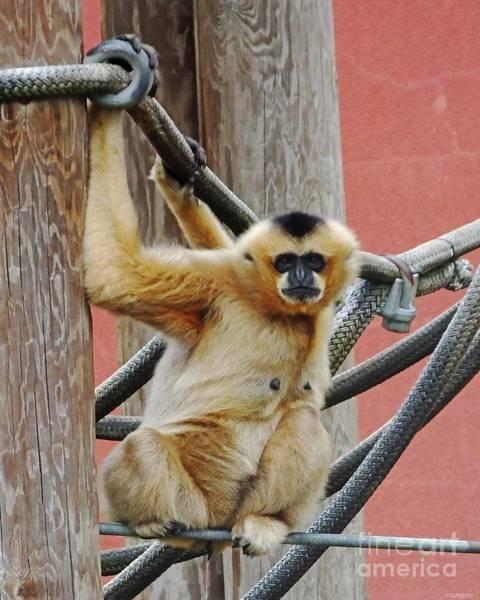 Photograph - Gibbon Girl by Lizi Beard-Ward