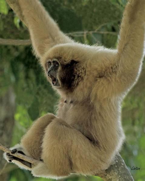 Digital Art - Gibbon by Larry Linton