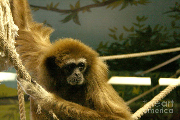 Photograph - Gibbon Looking Intently by Mary Mikawoz