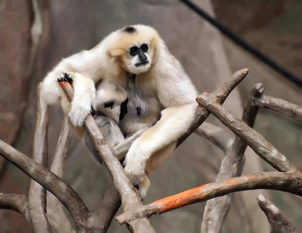 Digital Art - Gibbon Nursing Its Baby by Chris Flees