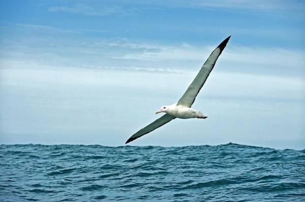 Wanderings Photograph - Gibson's Wandering Albatross In Flight by Tony Camacho/science Photo Library