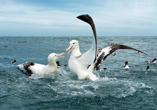 Wall Art - Photograph - Gibson's Wandering Albatrosses by Tony Camacho/science Photo Library