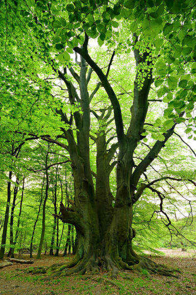 Environmental Issues Photograph - Gigantic Beech Tree In Spring Forest by Avtg