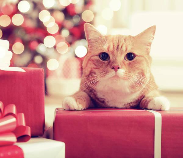 Ginger Cat Photograph - Ginger British Shorthair Cat In The by Elenaleonova