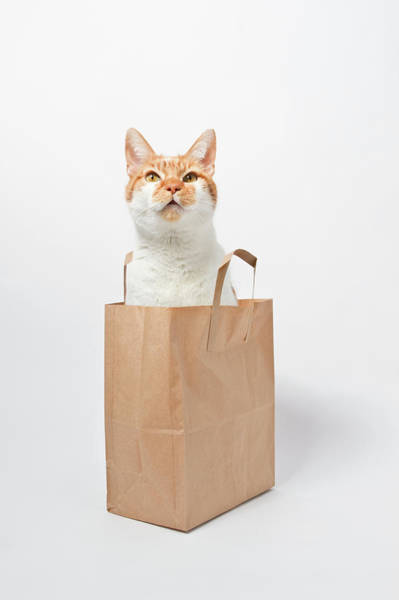 Ginger Cat Photograph - Ginger Cat Sitting In Bag by Image By Catherine Macbride