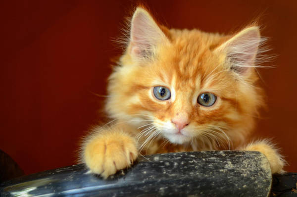 Ginger Cat Photograph - Ginger Kitten by Mr Doomits