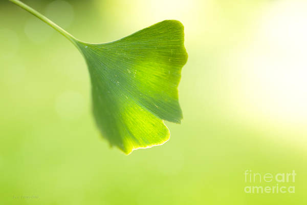 Photograph - Gingko by Beve Brown-Clark Photography