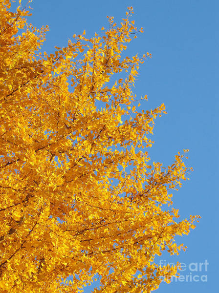 Photograph - Ginkgo by Eena Bo