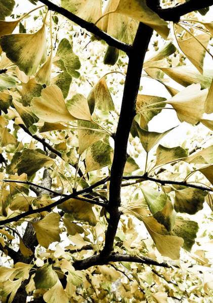 Forestry Photograph - Ginkgo Leaves by Frank Tschakert
