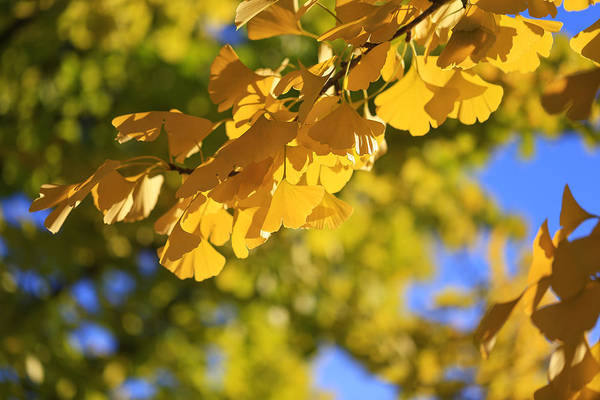 Photograph - Ginkgo Leaves In Fall by Rachel Cohen