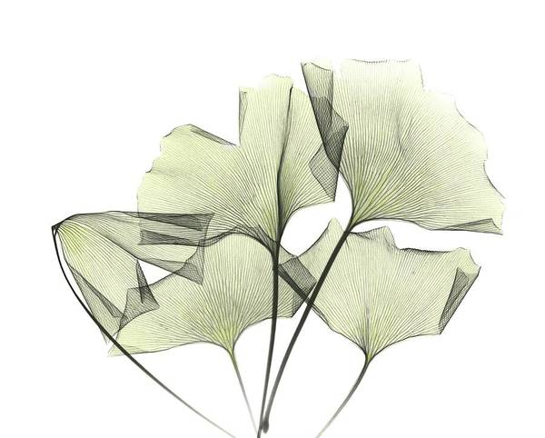 Wall Art - Photograph - Ginkgo Plant Leaves by Albert Koetsier X-ray