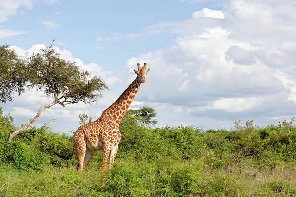 Wall Art - Photograph - Giraffe by 1001slide