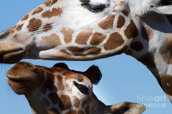 Colorful Giraffe Photograph - Giraffe 7d8913 by Wingsdomain Art and Photography