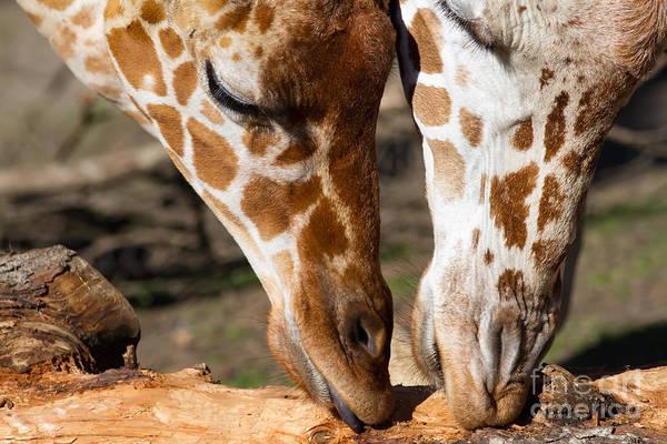 Colorful Giraffe Photograph - Giraffe 7d8917 by Wingsdomain Art and Photography