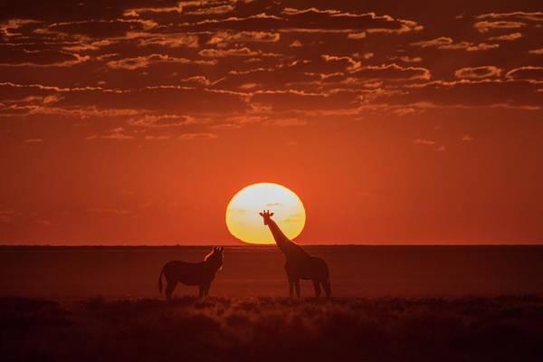 Wall Art - Photograph - Giraffe And Burchell's Zebra At Sunset by Tony Camacho/science Photo Library