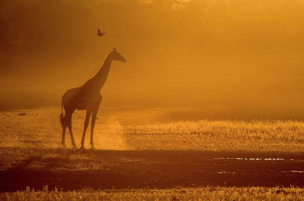 Wall Art - Photograph - Giraffe At Dusk In The Auob Riverbed by Tony Camacho/science Photo Library