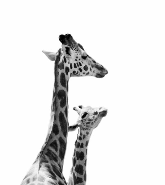 Wall Art - Photograph - Giraffe Baby And Mother by Stephanie McDowell