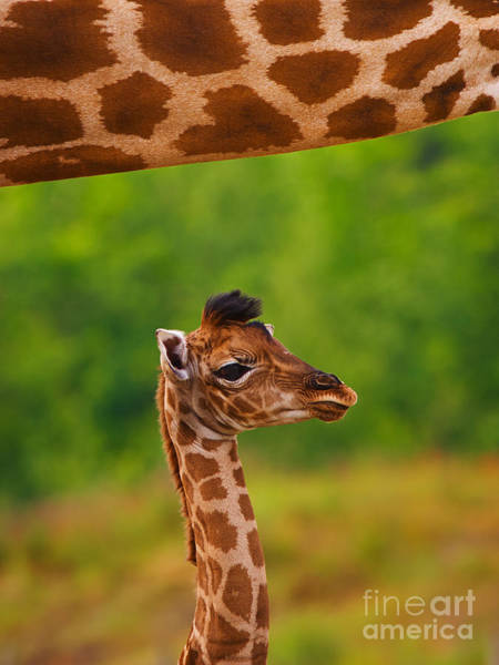 Photograph - Giraffe Calf Below The Neck Of Her Mother II by Nick  Biemans